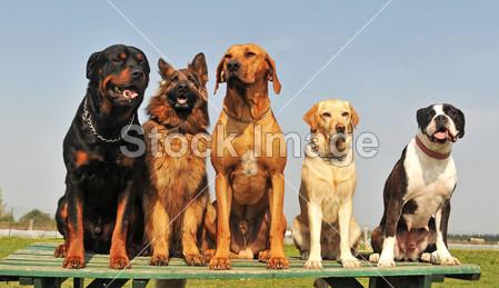 警觉的 动物 真美 蓝色的 拳击手 犬 可爱的 狗 狗 五 德国 集团