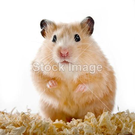 在白色背景上的木屑仓鼠摄影图片下载