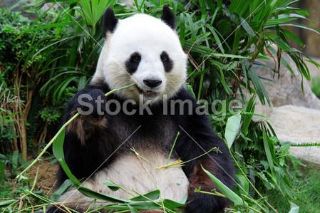 > 大熊猫吃竹子的熊