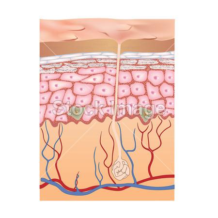 人类的皮肤结构.插画