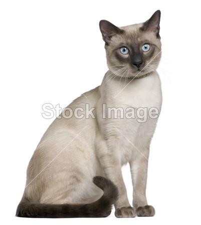 暹罗猫,8 个月父亲,背靠在白色背景前图片斋材(图片